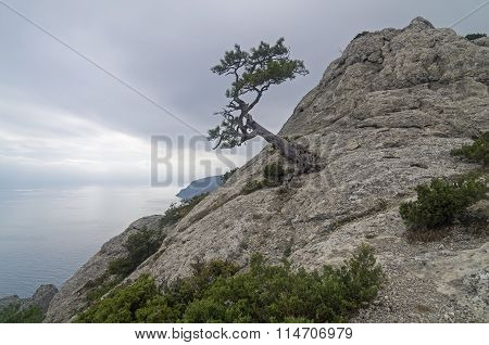 Relict Pine On Mountain Peak. Crimea.
