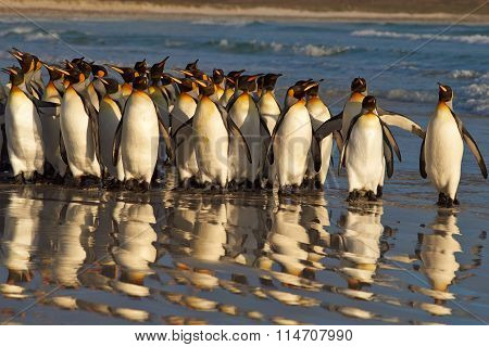 King Penguins at Daybreak