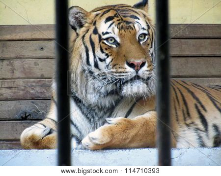 SOFIA, BULGARIA - JUNE 12, 2011: Tiger Rests In His Cage