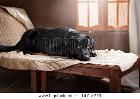 Portrait Dog Breed Black Labrador On A Studio