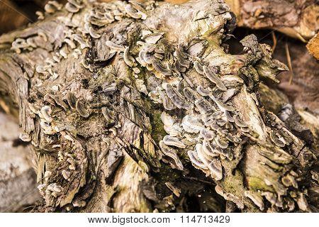 Texture Of Mushrooms On A Tree Stump