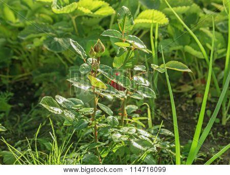 Rosebuds On Bush