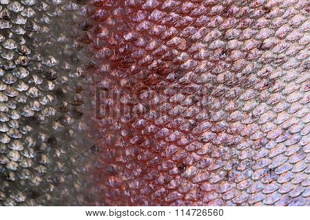 Salmon skin texture background, Scales of fish close up