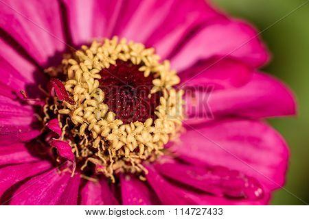 Pink Zinnia Flower In Green Garden