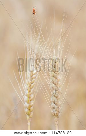 Spikelets Of Rye