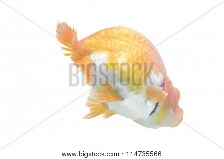 Orange Gold Fish Isolated On White