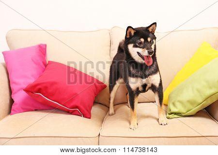 Siba inu on sofa in a room