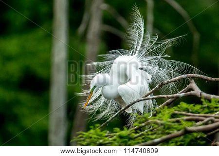 Ruffles Egret Feathers