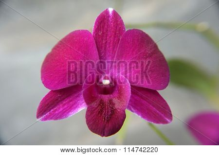 pink red Orchid
