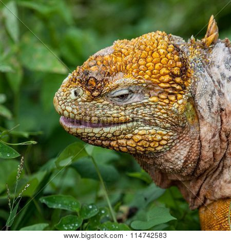 Head of Galapagos land iguana at Galapagos Islands