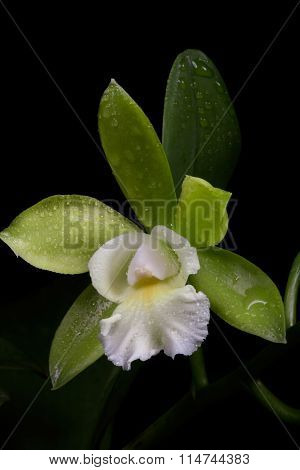 Orchids Flowers (cattleya Sp)