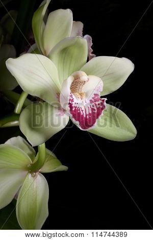 Orchids Flowers (cymbidium Sp)