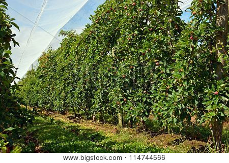 Apple Orchard Under Shade Cloth In Motueka, New Zealand