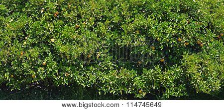 Orange Trees Background Panorama