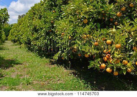 Orange Tree Orchard With Ripe Fruit