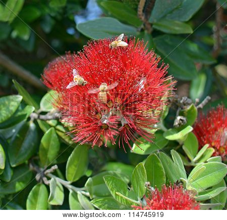 Bees On A Pohutukawa Flower, New Zealand
