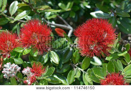 Closeup View Of Pohutukawa Flowers, Kaiteriteri, New Zealand