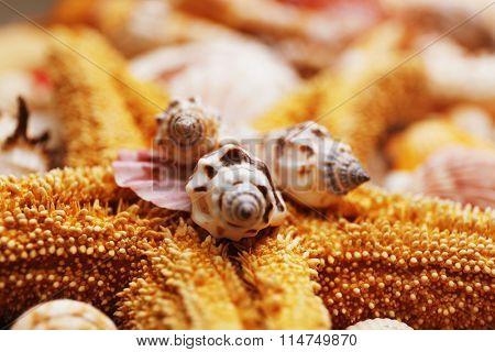 Sea star and seashell closeup