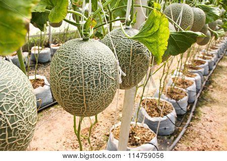 Melon Organic Produce From The Farm.