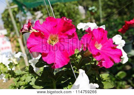 Red Petunias Flowers