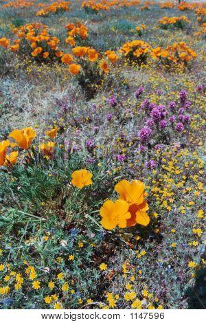 Desert Flowers Poppies
