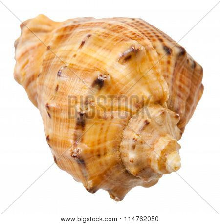 Spiral Shell Of Big Sea Snail Isolated