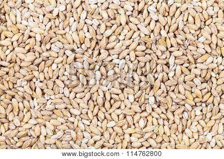 Many Pearl Barley Seeds