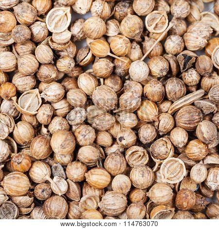 Many Dried Coriander Seeds
