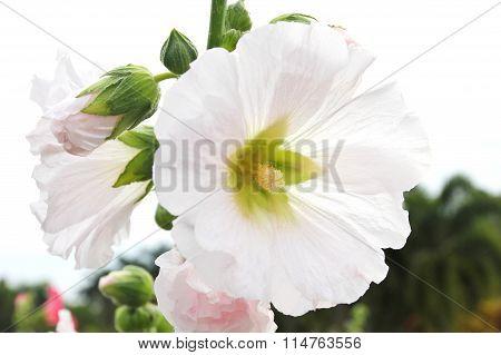 White Hollyhock (althaea Rosea) Blossoms