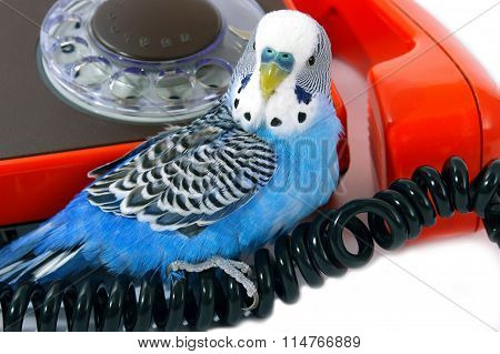 Blue wavy parrot and red telephone