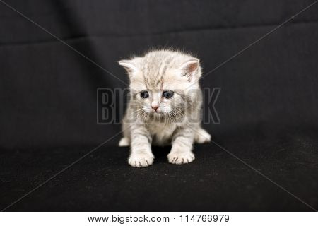 Shy little kitten on a dark background.