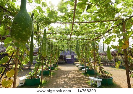 Gourd Calabash Growing On Arch Pergola