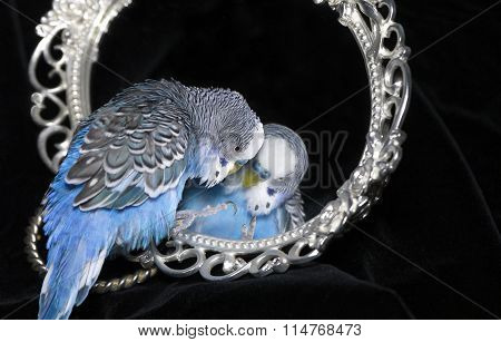 parrot and mirror