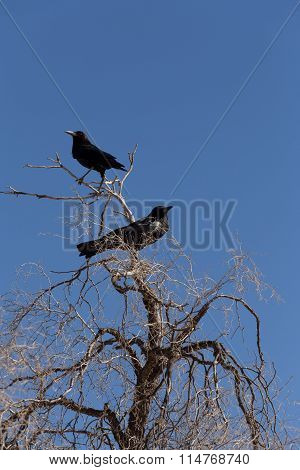 Cape Crow In Kgalagadi, South Africa