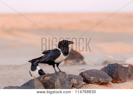 Pied Crow In Namib Desert