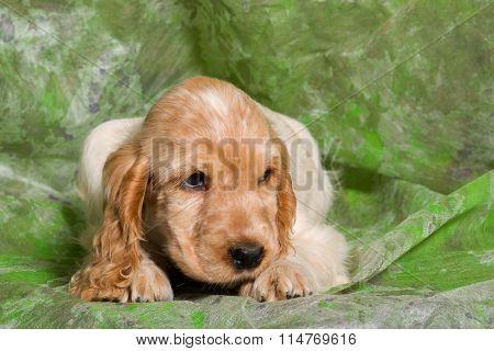 Orange English Cocker Spaniel Puppy