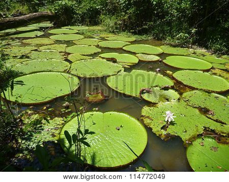 Waterlily Leaves Floating On The Water