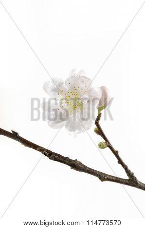 cherry blossom sakura on white