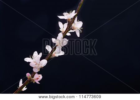 cherry blossom sakura isolated black background