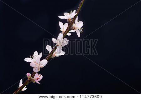 cherry blossom sakura isolated black background