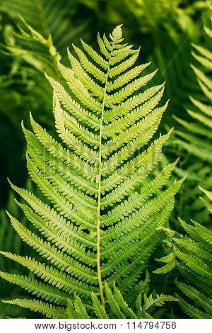 Natural green fern background. Summer season