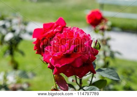 Beautiful Red Roses In Green Garden