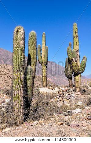 Cactus In The Quebrada De La Humahuaca, Argentina