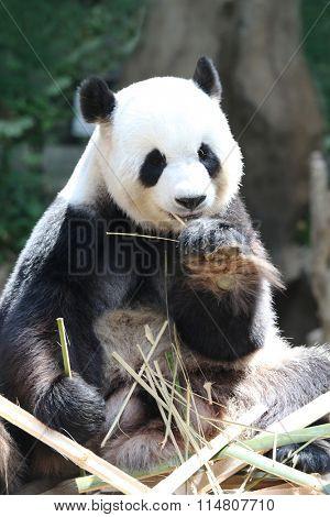 Giant panda bear eating dry bamboo close-up