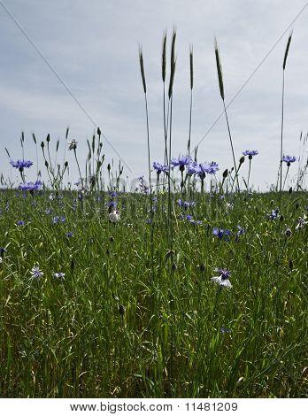 Cornfield With Knapweeds
