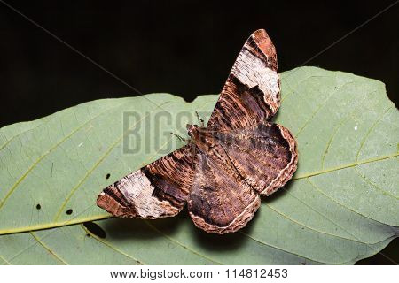 Xandrames Latiferaria Moth