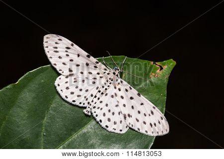 Antipercnia Belluaria Or Xenoplia Contrasqualida Moth