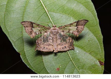 Krananda Semihyalina Moth On Green Leaf