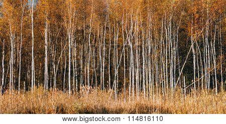Panorama of Beautiful Birch forest in autumn season.