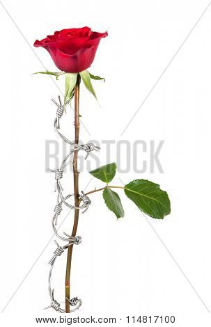 Dangerous love symbolised by barbed wire curling around a rose